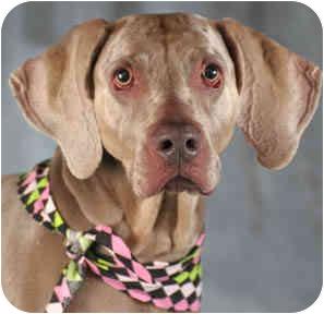 Weimaraner Dog for adoption in Chicago, Illinois - Maggie