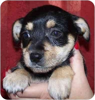 Cairn Terrier/Terrier (Unknown Type, Small) Mix Puppy for adoption in Broomfield, Colorado - Buster