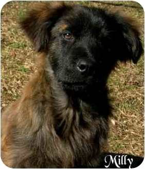 Chow Chow/Labrador Retriever Mix Dog for adoption in Ozark, Alabama - Milly