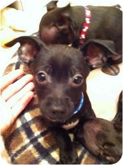 Chihuahua Mix Puppy for adoption in Lake Forest, California - Rascal