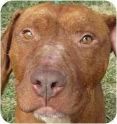 Pit Bull Terrier Mix Dog for adoption in Kansas City, Missouri - Seamus