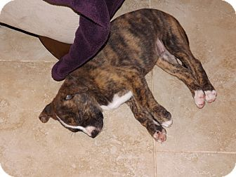 Boxer Mix Puppy for adoption in Phoenix, Arizona - Twinkle