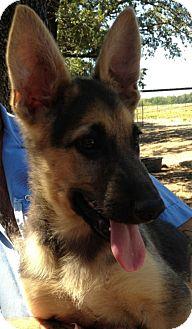 German Shepherd Dog Mix Puppy for adoption in Fort Worth, Texas - ZANDER - ADOPTION PENDING