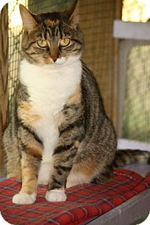 Domestic Mediumhair Cat for adoption in Dover, Ohio - Snoopy