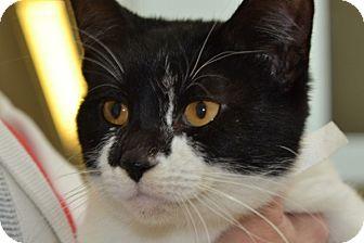 Domestic Shorthair Kitten for adoption in Elyria, Ohio - Kit