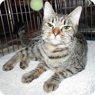 Domestic Shorthair Cat for adoption in Tucson, Arizona - Daisy