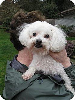 Poodle (Miniature) Dog for adoption in Salem, Oregon - Otto