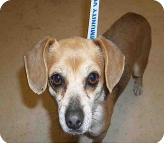 Dachshund/Chihuahua Mix Dog for adoption in Yuba City, California - 03/27 Rusty