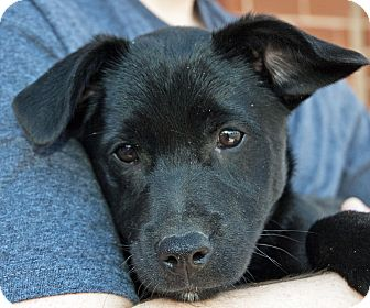 Labrador Retriever Mix Puppy for adoption in Richmond, Virginia - Fonzie