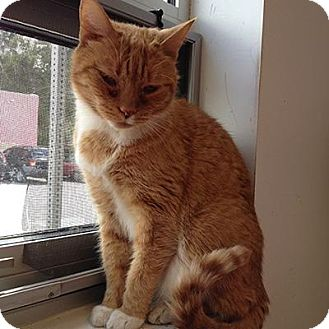Domestic Shorthair Cat for adoption in Denver, Colorado - Yellow Cab