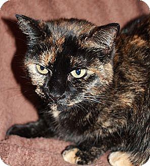 Domestic Shorthair Cat for adoption in Laingsburg, Michigan - Kiwi