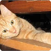 Adopt A Pet :: Charlie kitten -LUVbug - Cincinnati, OH