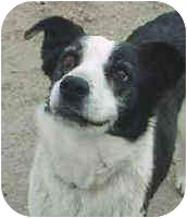 Border Collie Dog for adoption in Phelan, California - Millie
