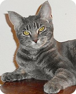 Domestic Shorthair Cat for adoption in North Highlands, California - Yelena