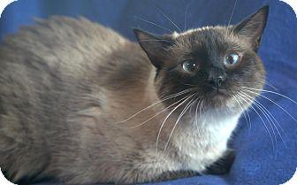 Siamese Cat for adoption in Portland, Maine - Truffle