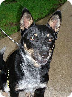 Australian Cattle Dog Puppy for adoption in Hazard, Kentucky - Zip-Prison Obedience Trained