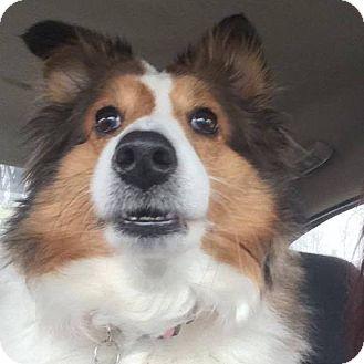 Sheltie, Shetland Sheepdog Mix Dog for adoption in Eastpointe, Michigan - Amelia