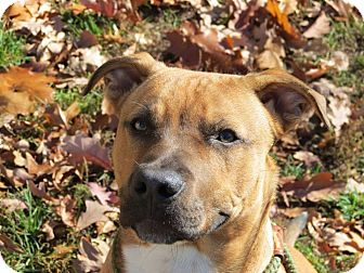 Pit Bull Terrier Mix Puppy for adoption in Coldwater, Michigan - Mondo - IN TRAINING