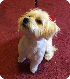 Lhasa Apso Mix Dog for adoption in Hampton, Virginia - Sasha