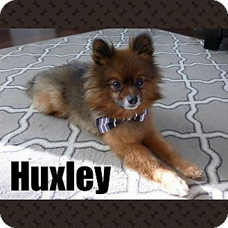 Pomeranian Dog for adoption in Barriere, British Columbia - Huxley