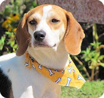 Beagle/Foxhound Mix Dog for adoption in Port St. Joe, Florida - Crysta