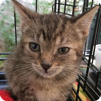 Domestic Shorthair Kitten for adoption in Brooklyn, New York - Misty