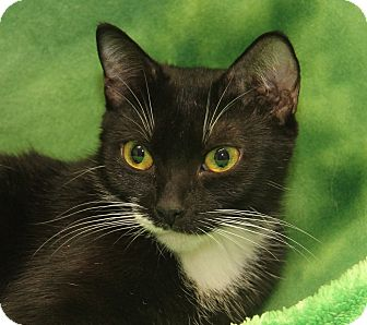 Domestic Shorthair Cat for adoption in Marietta, Ohio - O'Marley (Spayed)