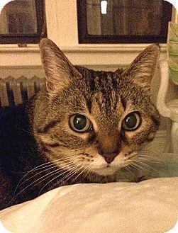 Domestic Shorthair Cat for adoption in New York, New York - Merci