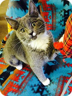 Domestic Shorthair Kitten for adoption in Chattanooga, Tennessee - Rosie