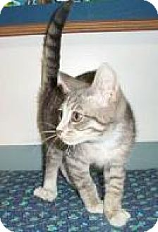 Domestic Mediumhair Kitten for adoption in Fayetteville, Georgia - Belvedeer