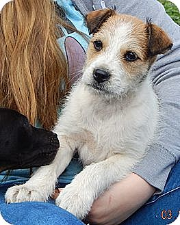 Wirehaired Fox Terrier/Border Collie Mix Puppy for adoption in West Sand Lake, New York - Petey (12 lb)