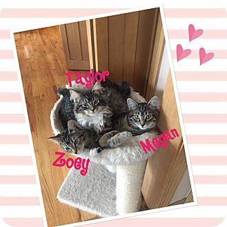Domestic Shorthair Kitten for adoption in Idaho Falls, Idaho - Megan
