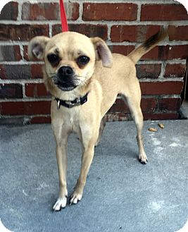 Italian Greyhound/Chihuahua Mix Dog for adoption in Mount Pleasant, South Carolina - Patience
