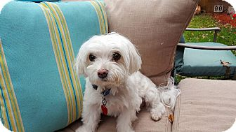 Maltese Mix Dog for adoption in Rockford, Illinois - Dutchess