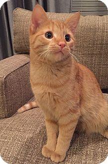 Domestic Shorthair Cat for adoption in Cincinnati, Ohio - Butterscotch
