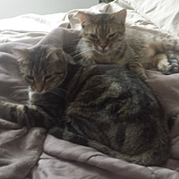 Adopt A Pet :: Totoro_Courtesy Post - Columbia, MD