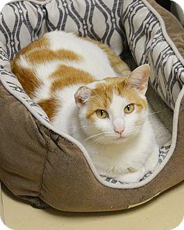 Domestic Shorthair Cat for adoption in Springfield, Illinois - Blaze