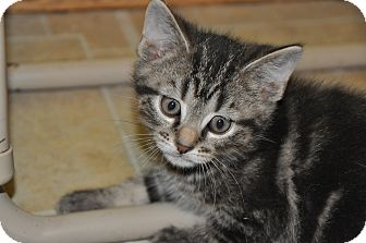 Domestic Shorthair Kitten for adoption in Xenia, Ohio - Minho