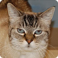 Siamese Cat for adoption in Sherwood, Oregon - Tiffany