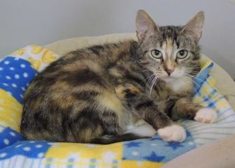 Domestic Shorthair/Domestic Shorthair Mix Cat for adoption in Westville, Indiana - Joanie