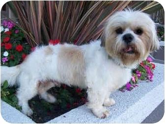 Lhasa Apso Dog for adoption in Los Angeles, California - SWEET RAMBO