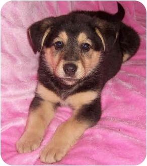 German Shepherd Dog/Labrador Retriever Mix Puppy for adoption in Overland Park, Kansas - Snuggles