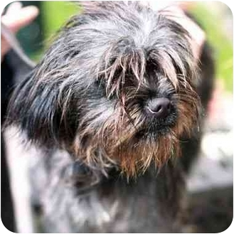 Cairn Terrier Mix Puppy for adoption in Berkeley, California - Tippy