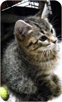Domestic Shorthair Kitten for adoption in Alden, Iowa - Mabel