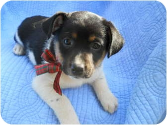 Basenji/Spitz (Unknown Type, Small) Mix Puppy for adoption in Pawling, New York - be TWIX and...