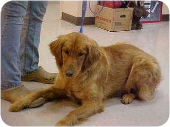 Golden Retriever Dog for adoption in Burnsville, North Carolina - Skyy