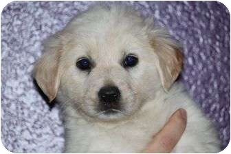 Great Pyrenees/Labrador Retriever Mix Puppy for adoption in McKinney, Texas - Jan