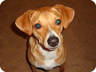 Whippet/Beagle Mix Dog for adoption in Cincinnati, Ohio - Zoey