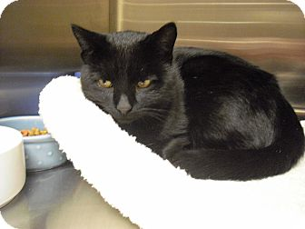 Domestic Shorthair Cat for adoption in Wickenburg, Arizona - Max