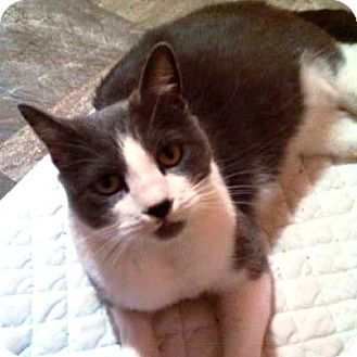 Domestic Shorthair Cat for adoption in Monroe, North Carolina - Sable